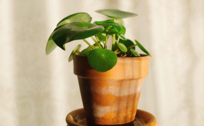 Pannenkoekplant/ pilea